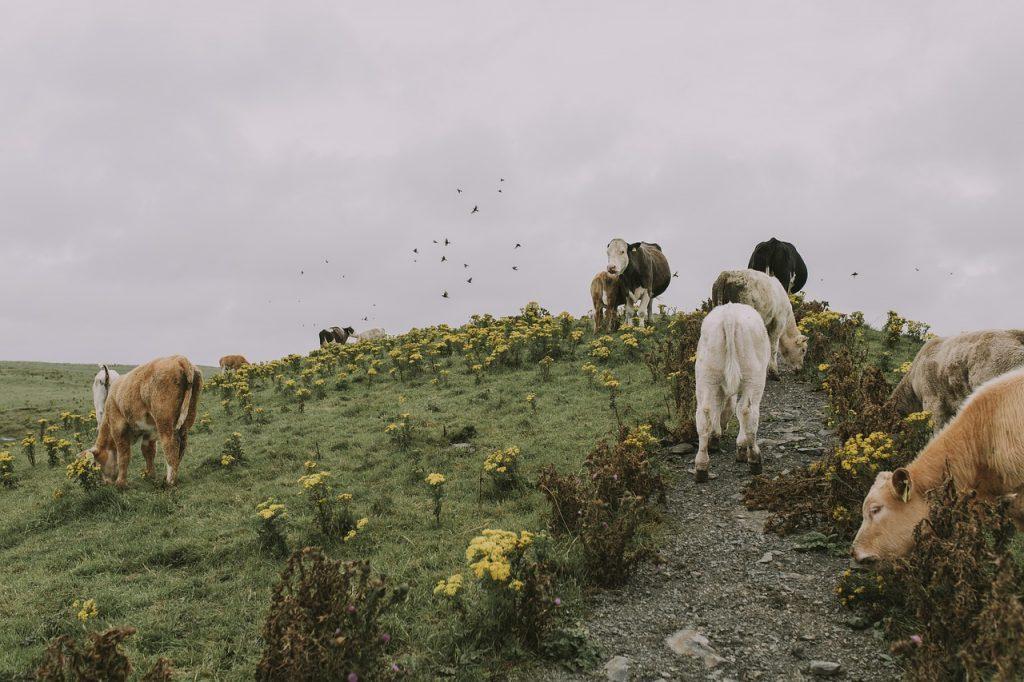cow, cattle, meadow